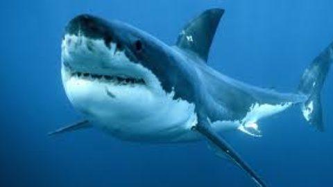Gli animali più longevi al mondo: Lo squalo della Groenlandia.